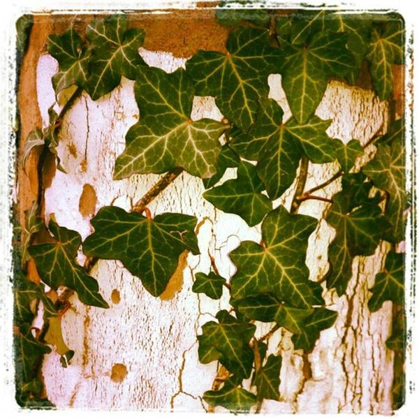 Photograph - #ivy On A Neighborhood #tree #mylife by Tammy Winand