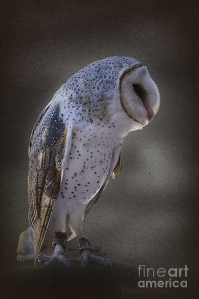 Photograph - Ivy The Barn Owl by Elaine Teague