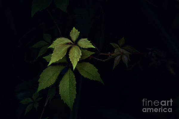 Photograph - Ivy by Tim Wemple