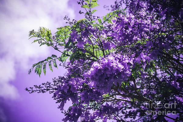 Photograph - Jacaranda Mimosifolia Kula Maui Hawaii by Sharon Mau