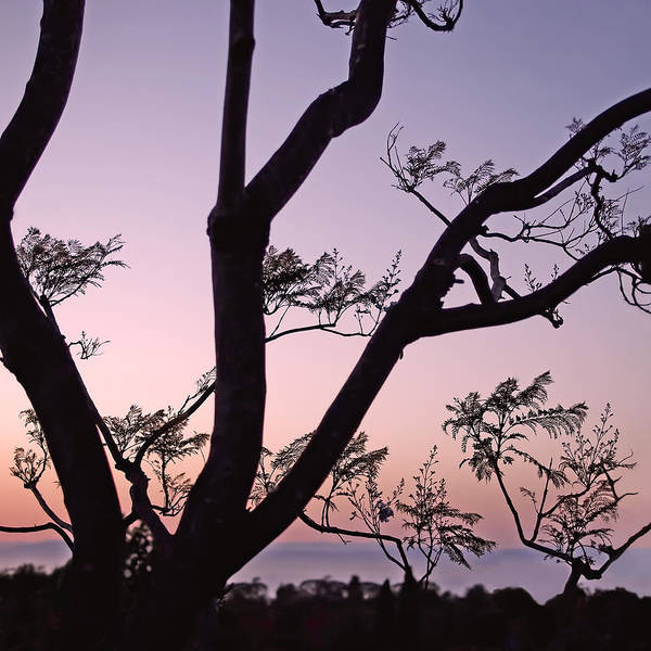 Photograph - Jacaranda Silhouette by Rona Black
