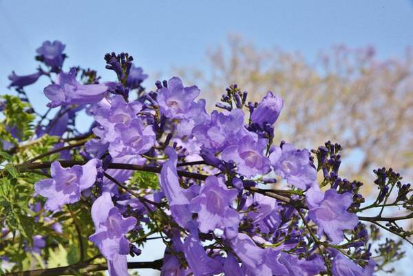 Wall Art - Photograph - Jacaranda Tree Flowers 1 by Linda Brody