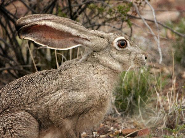 Photograph - Jack Rabbit Portrait by Charles McKelroy