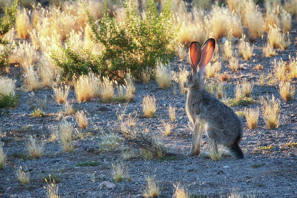 Photograph - Jack Rabbit by Tatiana Travelways