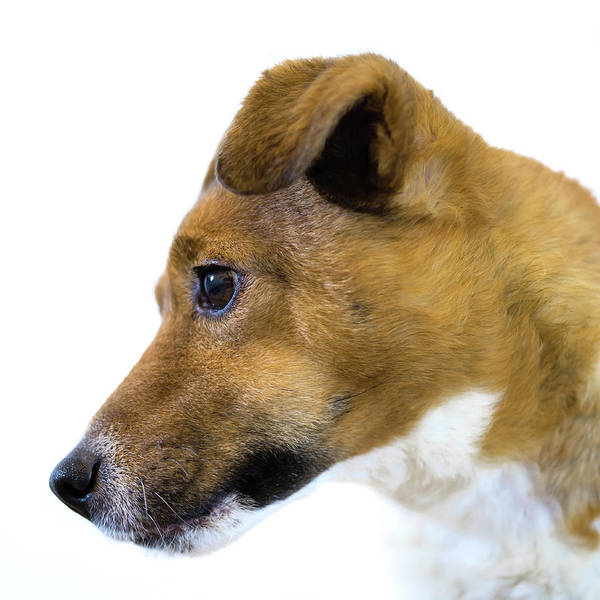 Photograph - Jack Russell #4 by Nick Bywater