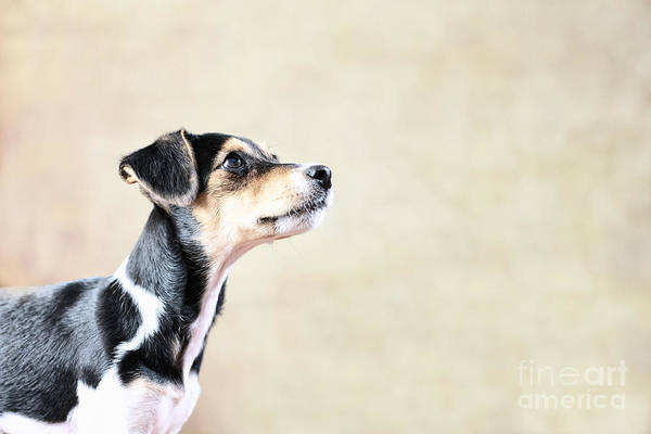 Wall Art - Photograph - Jack Russell - Mix Puppy by Jana Behr