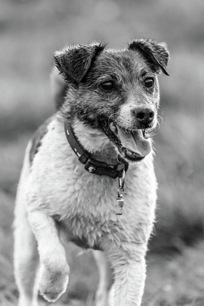 Photograph - Jack Russell Terrier by Nick Bywater