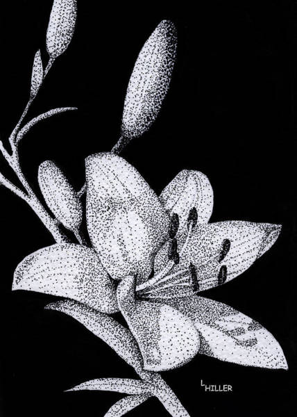 Lily Drawing - Jacqui's Lily by Linda Hiller
