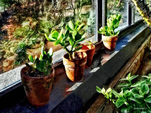 Photograph - Jade Plants In Greenhouse by Susan Savad