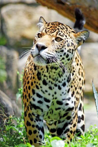 Nfs Photograph - Jaguar by Daniel Caracappa