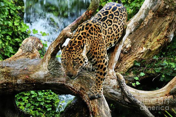 Photograph - Jaguar Descending by Spade Photo