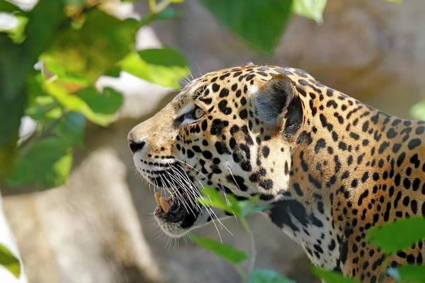 Nfs Photograph - Jaguar Profile by Daniel Caracappa