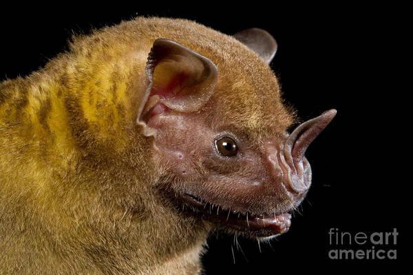 Ensenada Photograph - Jamaican Fruit-eating Bat by B.G. Thomson