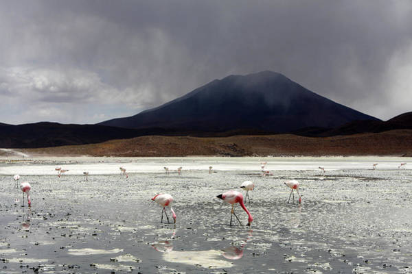Photograph - Flamingo's On A Salt Lake, Bolivia by Aidan Moran