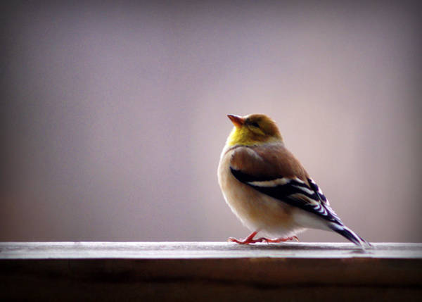 Photograph - January Goldfinch by Cricket Hackmann