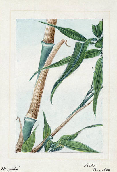 Photograph - Japan: Bamboo, C1870s by Granger