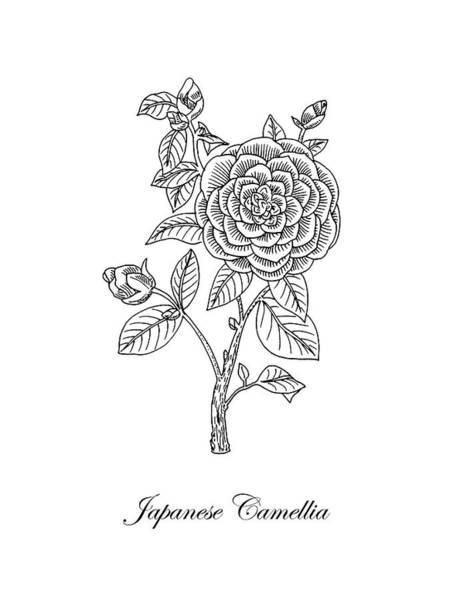 Drawing - Japanese Camellia Flower Botanical Drawing  by Irina Sztukowski