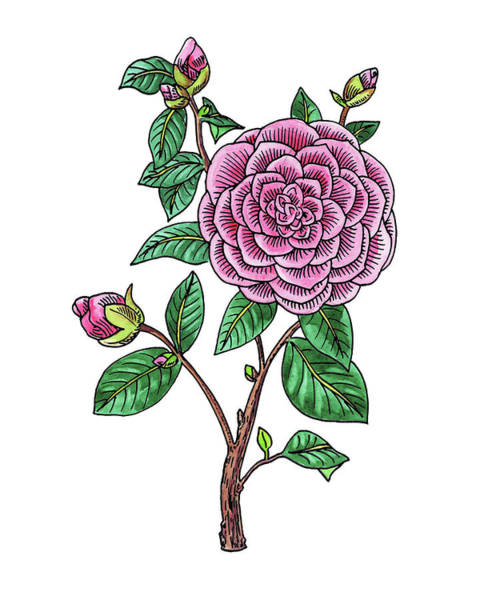 Line Drawing Painting - Japanese Camellia Flower Watercolor by Irina Sztukowski
