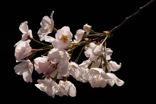 Photograph - Japanese Cherry Blossom by Jerry Gammon
