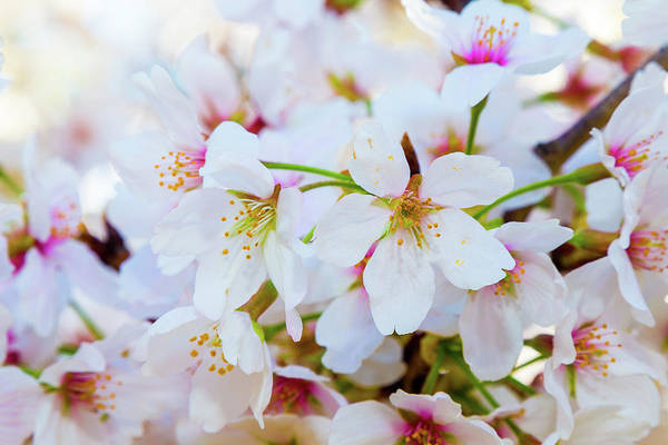 Photograph - Japanese Cherry Tree Blossoms 2 by SR Green