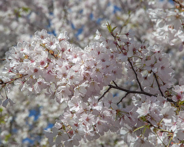 Photograph - Japanese Cherry Tree Blossoms On The Tidal Basin Ds0079 by Gerry Gantt