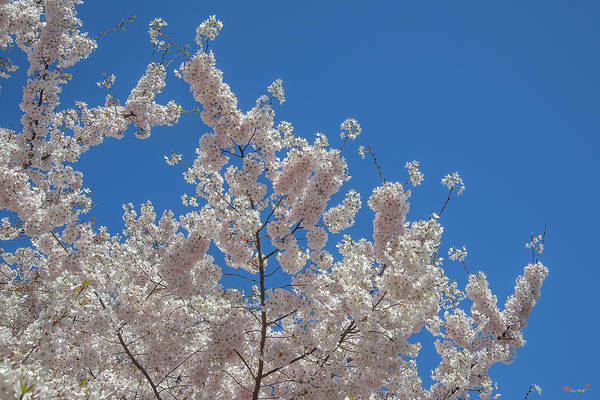 Photograph - Japanese Cherry Tree Blossoms On The Tidal Basin Ds0080 by Gerry Gantt