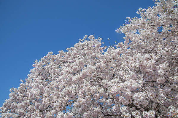 Photograph - Japanese Cherry Tree Blossoms On The Tidal Basin Ds0081 by Gerry Gantt