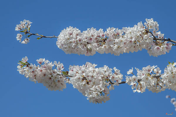 Photograph - Japanese Cherry Tree Blossoms On The Tidal Basin Ds0083 by Gerry Gantt