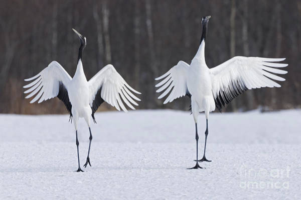 Photograph - Japanese Cranes by Art Wolfe