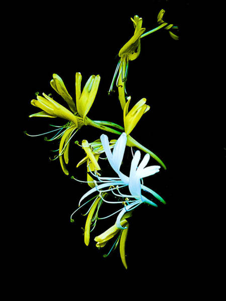 Photograph - Japanese Honeysuckle by Bill Barber