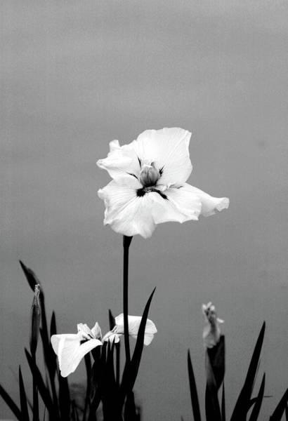Photograph - Japanese Iris 2707 H_6bw by Steven Ward