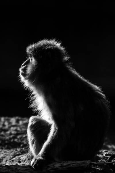 Photograph - Japanese Macaque Profile by Keith Allen