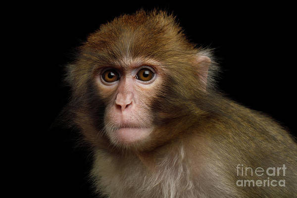 Photograph - Japanese Macaque by Sergey Taran