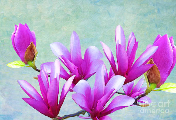 Purple Tulip Photograph - Japanese Magnolia by Laura D Young