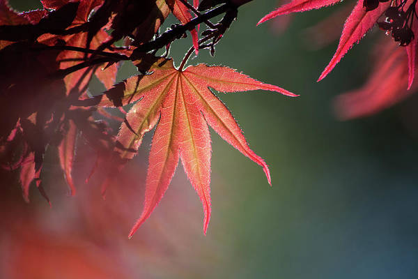 Wall Art - Photograph - Japanese Maple Leaf 1 by Kevin O'Hare