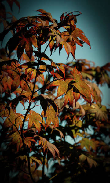 Photograph - Japanese Maple 4449 H_2 by Steven Ward