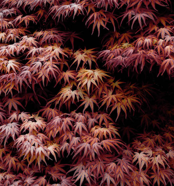 Wall Art - Photograph - Japanese Maple, Acer Palmatum Seigen by Frank Tschakert