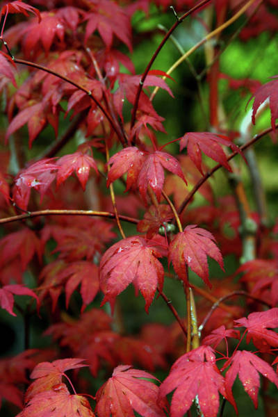 Photograph - Japanese Maple Detail After The Rain 1785 H_2 by Steven Ward