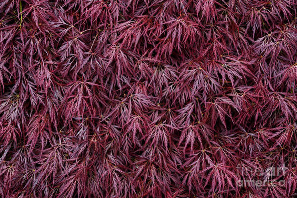 Wall Art - Photograph - Japanese Maple Garnet by Tim Gainey