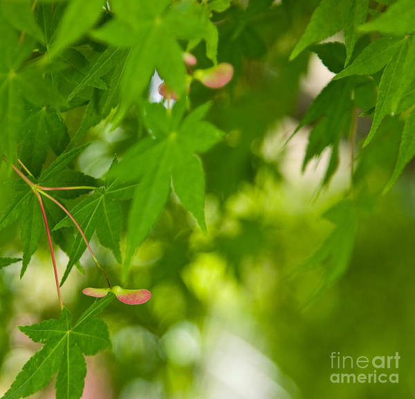 Photograph - Japanese Maple II by Julia Rigler