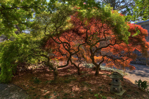 Photograph - Japanese Maple In Spring II by Jerry Gammon