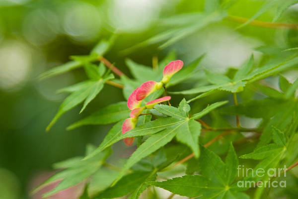 Photograph - Japanese Maple by Julia Rigler