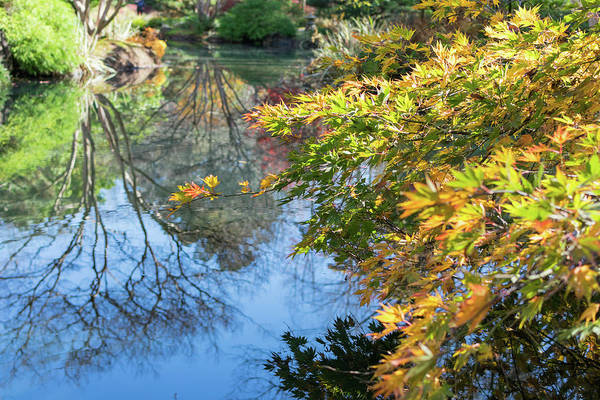 Photograph - Japanese Maple  by Keith Smith