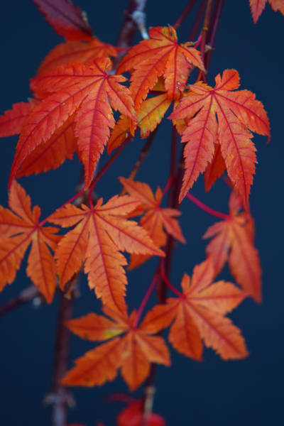 Photograph - Japanese Maple Leaves In Autumn by Frank Wilson