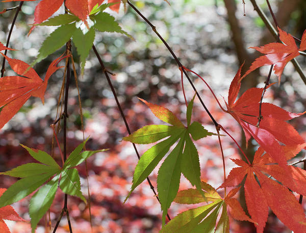 Photograph - Japanese Maple Leaves by Keith Smith