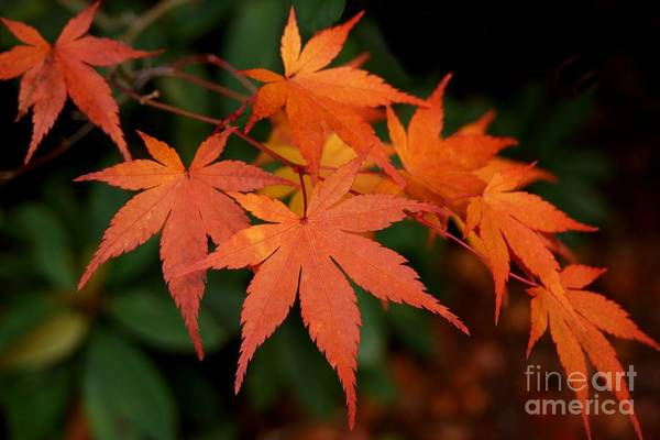 Photograph - Japanese Maple Leaves by Patricia Strand