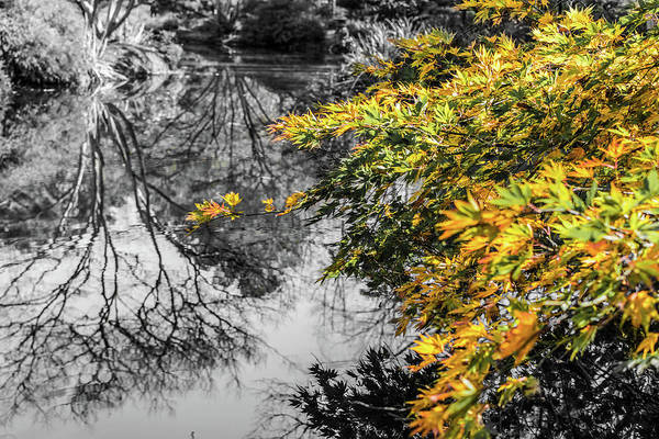 Photograph - Japanese Maple Pop by Keith Smith