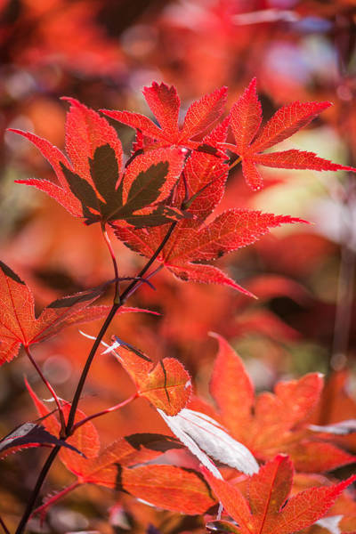 Photograph - Japanese Maple  by Racheal Christian