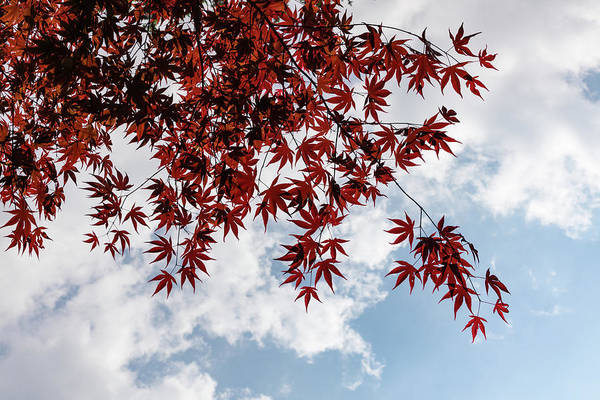 Photograph - Japanese Maple Red Lace - Horizontal View Downwards Right by Georgia Mizuleva
