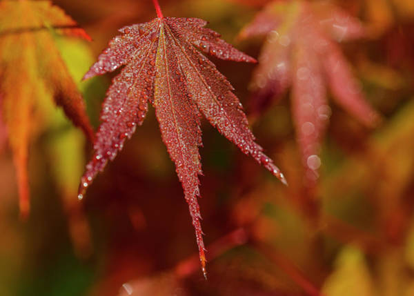 Photograph - Japanese Maple by Robert Potts